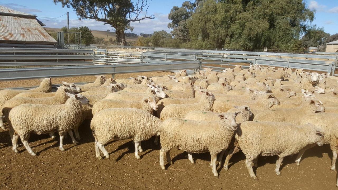 Ewe Sales – Lambpro